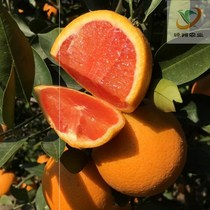 Sable de sucre orange laid mandarine arbre semis Empereur mandarine oranges petit OR orange fruits semis semis en pot plantation fruits semis simulation