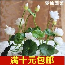 Lotus seeds set aquatic flowers green Water lily Lotus has openings mini lily root aquatic implant