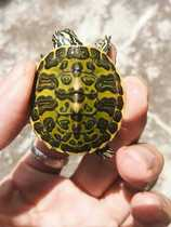 Healthy and lively pet turtle