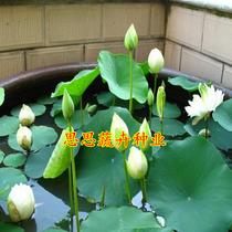 (Lotus seeds) Four Seasons sowing bowl Lotus water cultivation aquatic lotus Water culture lotus flower Lily
