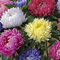 Aster seeds August chrysanthemum Jiang Sila mixed chrysanthemum balcony potted garden green Four Seasons sowing flower seeds