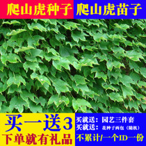 Climbing Tiger climbing rattan plant hanging evergreen Four Seasons easy to grow balcony courtyard easy living seeds three leaves five leaves chancellorship