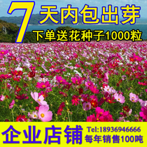 Cosmos seed mix Color Gesang flower Four Seasons green wildflowers seeds Four seasons easy to sow grass flower potted flower seed