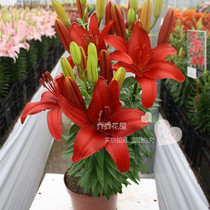 Chochowa House asian Lily Bulbs Dwarf No fragrance small hope red 3 grain of stock