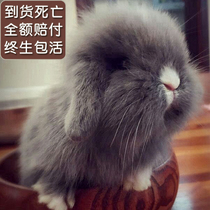 Pet rabbit Dutch Lop rabbit live dwarf rabbit lion rabbit couple rabbit cover face cat rabbit mini rabbit baby