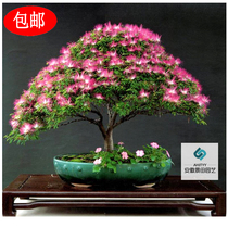 Autumn species of Acacia flower seeds Bonsai Seeds Four Seasons easy live potted indoor flower garden woody plants