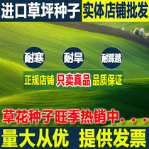 Four Seasons Green lawn seed green grass dog root trim short manila slope protection Turf grass seed courtyard greening