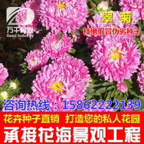 Aster perennial perennial flowers and plants seeds of the Four Seasons sowing garden flower sea landscape flowering plant seeds