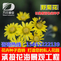 Wild chrysanthemum perennial flowers and plants seeds of the Four Seasons sowing garden flower sea landscape flowering plant seeds