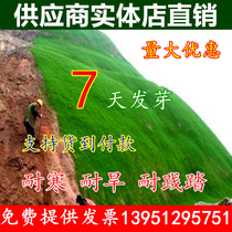 Slope protection grass seed slope green lawn grass seeds Four Seasons evergreen grass seed heat resistant dog root