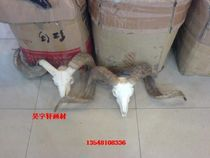 Sheep Skull Art sheep head specimen handicraft material art still Life Yak Skull Collection