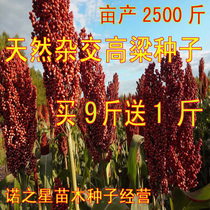 Red sorghum seed resistant to four hybrid sorghum seeds dwarf-bred and drought-resistant high-yielding wine sorghum seed sweet sorghum
