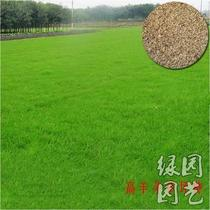 Lawn seed Cold season type tall fescue 500 grams high wool seed grass seed courtyard greening