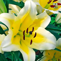 Lily bulbs imported Perfume lily flower with Bud Ball White lily ball double dwarf perennial bulb root flower