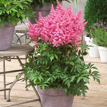 (spot) Imports of bare-rooted-rooted-rooted-rooted perennial courtyard garden balcony flowers shade-tolerant potted plants