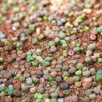 South African FDP imports multi-meat seed Shi Sheng seeds flower butt fleshy plant seeds.