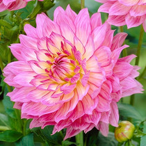 Imported Flowers big Li chrysanthemum sweet potato Flower dahlia garden planted potted plant