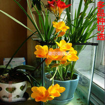 Indoor potted ball root flowers Autumn and winter fragrant snow orchid small blue