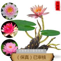 Pond water Lily lotus root block aquatic roots Big sleep flower root bag survival