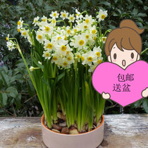 Narcissus hydroponic indoor flower pot saplings potted plants in summer and winter to give pots and easy living balcony