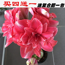 The Netherlands imported double perennial Zhu Ding Red heavy petal flower ball flowers can be planted in potted plants
