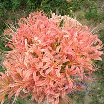 Stone Garlic seed ball pink edge stone garlic seed ball Other shore flower seeds Manjusaka Seeding Ball