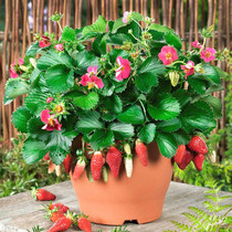 Strawberry seeds Four Seasons easy living flower seeds indoor potted plants seeds vegetable seed plant flower seeds