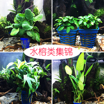 Peony Mini Little Banyan Tree Pocket water banyan Tree Wallis in the middle of the water can be planted bundled grass fish tank landscaping