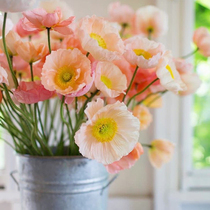 Tasha Garden Iceland poppies seeds Four seasons sowing indoor balcony potted easy grow flowers imported seeds