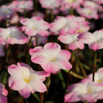Tasha Garden wind and rain orchid flowering seed ball fat Lili Four seasons (pre-sale October mid-delivery)