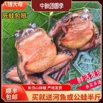 Northeast forest frog Toad Changbai Mountain specialty snow clam Changbai Mountain Forest Frog Female Leopard 12-13 catties