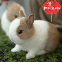 Pet Dwarf Rabbit Live mini small teacup rabbit Fengyulian begonia cat rabbit Ear Rabbit