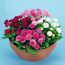 Four seasons sowing easy to plant balcony flower small daisy seed flowering constantly indoor courtyard easy live desktop potted plant