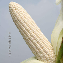 Sweet waxy sticky white corn seed agricultural field early ripening sweet white hybrid high yield soft waxy corn non-GMO