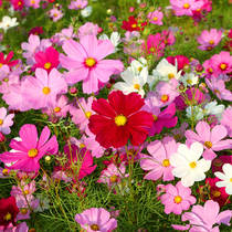 The seeds of the Four seasons of the Big Flower Cosmos are easy to live flowers and seeds bloom continuously gesang flower seeds