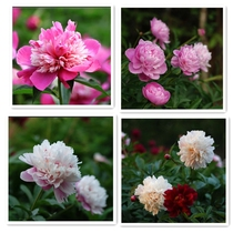 Ball Flower Holland imported cut flower peony root autumn and winter flowers can potted garden planting