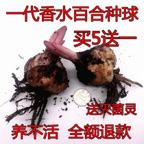 Import Perfume lily Flower ball big balls with Bud seed double Four Seasons Flowers plant indoor potted perennial