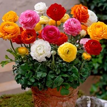 Flower Buttercup ball root land lotus celery leaf peony seed ball perennial plant seeds indoor potted Four Seasons flowering