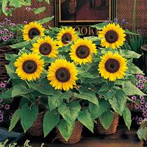 Sunflower seeds Ornamental sunflower sunflowers indoor balcony potted garden Four Seasons flower seeds