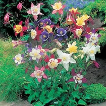 Flower seeds cat claw flower columbine bucket Vegetable Seeds Four seasons easy species balcony potted garden flower seeds
