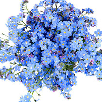 Forget-me-not seeds Four Seasons easy flowers flowers potted garden room inside and outside the Four Seasons bloom constantly easy to explode basin