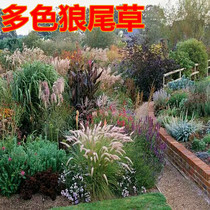 Slope protection watch Wolf tail grass seed dog tail grass seed beautiful Four seasons easy to seed Reicau seeds