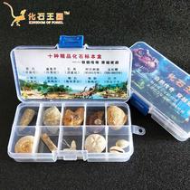 Natural 10 kinds of paleontological fossils specimen box trilobite fossils Amber rough stone ornament Stone gift