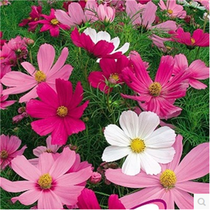 Four Seasons easy to live high pole short pole mixed color cosmos seed Gesang Flower Seed project Greening Flower Seed