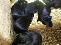 Chinese Black Dolphin seedling live guinea pig pure black short shun hairy Dutch boar a male and two female (three)package live