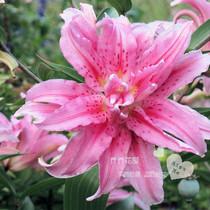 Chochowa House imported perfume Lily Bulbs Ball Double Oriental series Heartbreak 16 18 spot
