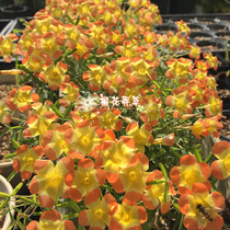 germinated three-color vinegar grass oxalis yael Three-color kidney vinegar early flower varieties have shipped physical map to promote