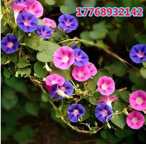 Big Flower Morning Glory seeds climbing rattan flower balcony garden flower seed plant flower seeds mixed color potted trumpet flower
