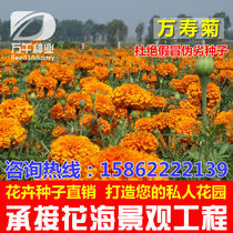 Golden chrysanthemum marigold flowers Flowers flower Seeds Four Seasons garden flowers sea landscape flowering plant seeds