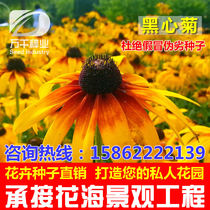 Black-hearted chrysanthemum perennial flowers and plants seeds Four Seasons sowing garden flower sea landscape flowering plant seeds